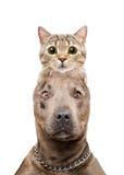 Portrait drôle d'un pitbull avec un chat sur la tête Photo stock