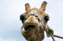 Portrait drôle d'une girafe Photographie stock
