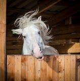 Portrait drôle du cheval blanc secouant la crinière Photos stock