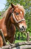 Portrait of draft stallion Royalty Free Stock Photos