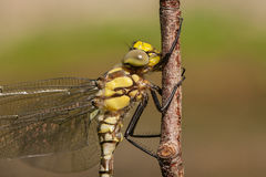 Portrait of dragonfly. Close up of yelow Dragonfly Stock Image
