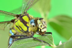 Portrait of a dragonfly on a green leaf Stock Photo
