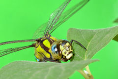 Portrait of a dragonfly on a green leaf Royalty Free Stock Images