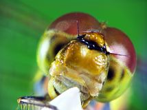 Portrait of dragonfly (Odonata) Stock Photos