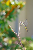 A portrait of a dragonfly Stock Image