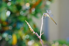 A portrait of a dragonfly Stock Photos