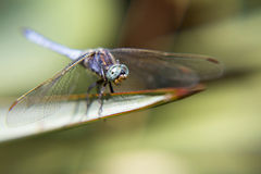 Portrait of a dragonfly. Dragonfly sitting on a blade of grass Stock Photo