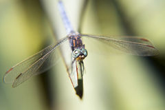 Portrait of a dragonfly. Dragonfly sitting on a blade of grass Stock Photography