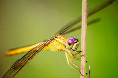 Portrait of dragonfly - Yellow dragonfly Royalty Free Stock Photography