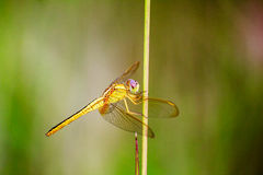 Portrait of dragonfly - Yellow dragonfly Royalty Free Stock Images