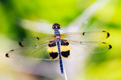 Portrait of dragonfly - Yellow dragonfly Stock Image