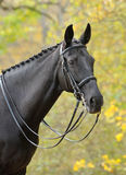 Portrait of dressage black horse. In autumn wood Stock Photos