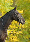 Portrait of dressage black horse Stock Photo