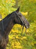 Portrait of dressage black horse. Portrait black dressage horses against autumn wood Stock Photo