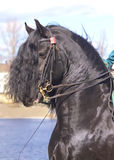 Portrait of dressage  friesian horse Royalty Free Stock Images