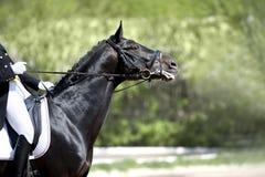 Portrait of dressage horse Stock Images