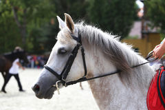 Portrait of a dressage  horse on nature background Royalty Free Stock Images
