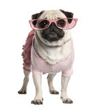 Portrait of dressed up pug wearing glasses, 4 years old stock photography