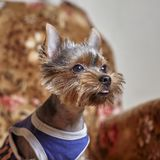 Portrait of dressed Yorkshire Terrier on the couch. Front view of the dog in a cute costume