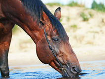 Portrait of drinking bay horse Stock Image