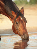 Portrait of drinking bay horse Stock Photography
