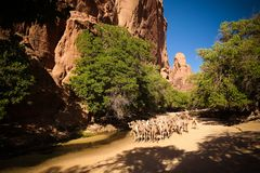 Portrait of drinking camels in canyon aka guelta Bashikele ,East Ennedi, Chad royalty free stock images