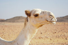Portrait of dromedary Royalty Free Stock Photo