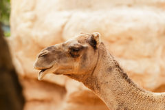 Portrait of a dromedary. Just head. Stock Photos