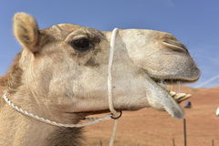 Portrait of a Dromedary. Portrait of a slavering dromedary in  the Wahiba desert, Oman Royalty Free Stock Images