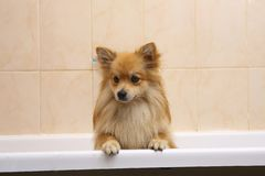 Dry Pomeranian dog in the bathroom. Spitz dog waiting to be washed. Portrait at dry Pomeranian dog in the bathroom in at home. Spitz dog waiting to be washed royalty free stock photography
