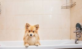 Dry Pomeranian dog in the bathroom. Spitz dog waiting to be washed. Portrait at dry Pomeranian dog in the bathroom in at home. Spitz dog waiting to be washed royalty free stock photos