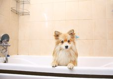 Dry Pomeranian dog in the bathroom. Spitz dog waiting to be washed. Portrait at dry Pomeranian dog in the bathroom in at home. Spitz dog waiting to be washed royalty free stock images