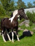Portrait du beau cheval de trait de peinture Photos stock