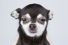 Portrait du beau chien de chiwawa d'isolement sur le fond gris Images stock
