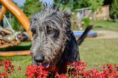 Portrait du beau chien gris de chien-loup irlandais posant dans le jardin Chien gris et noir heureux se reposant sur l'herbe au p Image libre de droits