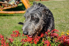 Portrait du beau chien gris de chien-loup irlandais posant dans le jardin Chien gris et noir heureux se reposant sur l'herbe au p Image stock