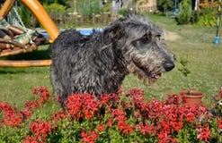 Portrait du beau chien gris de chien-loup irlandais posant dans le jardin Chien gris et noir heureux se reposant sur l'herbe au p Photos libres de droits