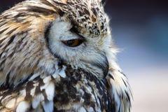 Portrait du bubo eurasien d'Eagle Owl Bubo photo libre de droits