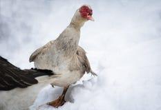 Portrait du canard de muscovy sale non utilisé aux températures froides et à l'hiver neigeux, Frances du sud, février 2018 photo libre de droits