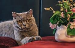Portrait du chat gris de la race des Anglais photo stock