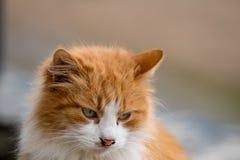 Portrait du chat rouge timide regardant vers le bas photographie stock