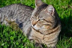 Portrait du chat tigré aux cheveux courts domestique se situant dans l'herbe Tomcat détendant dans le jardin photographie stock