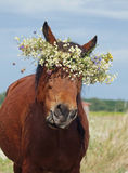 Portrait du cheval brun images libres de droits