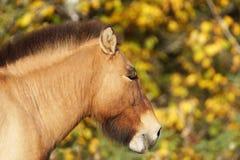 Portrait du cheval de Przewalski Photographie stock libre de droits