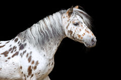 Portrait du cheval ou du poney d'Appaloosa Photographie stock