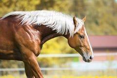 Portrait du cheval rouge avec la crinière argentée images stock