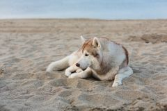 Portrait du chien attentif de chien de traîneau sibérien se trouvant sur le bord de mer au coucher du soleil images stock