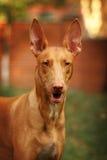 Portrait du chien d'un pharaon Images stock
