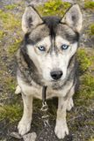Portrait du chien de traîneau sibérien avec des yeux bleus Image libre de droits