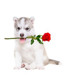 Portrait du chien de traîneau sibérien de chiot avec une rose dans sa bouche Photos libres de droits